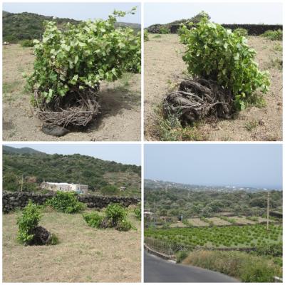 Forma di Allevamento della Vite e Cesto o Paniere (Pantelleria)